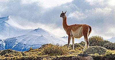 Hvilke Dyr Lever I Andesfjellene?