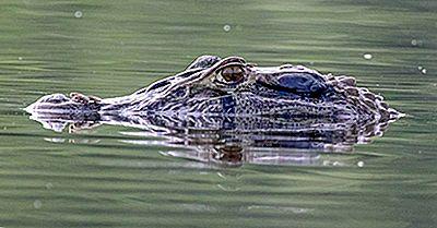 Quelles Sont Les Différences Entre Un Caïman Et Un Alligator?