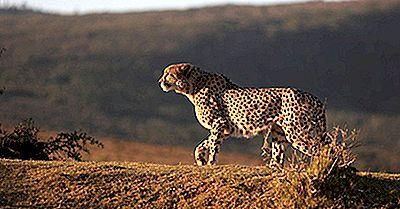 Quelles Sont Les Différences Entre Un Guépard, Une Jaguar Et Un Léopard?