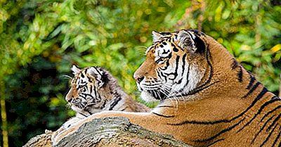 ¿Cuáles Son Los Diferentes Tipos De Tigres Que Viven Hoy?