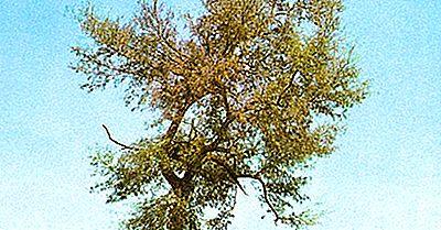 O Que São Árvores Quebracho?