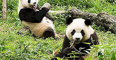 ¿Qué Comen Los Pandas Gigantes?