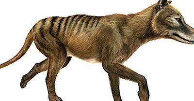 ¿Qué Factores Son Culpados Por La Extinción Del Tigre De Tasmania?