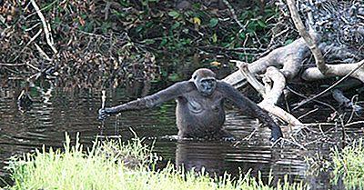 Care Este Diferența Dintre Maimuțe Și Maimuțe?