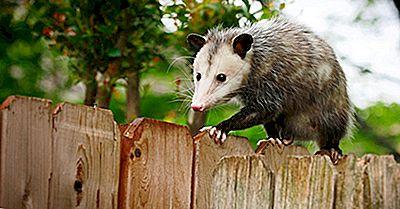 Care Este Diferența Dintre O Posum Și Un Oposum?