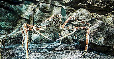 Quel Est Le Plus Grand Crabe?
