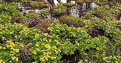 Cos'È Una Palude Di Arbusti?