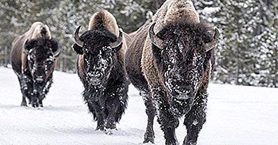 ¿Cuál Es La Diferencia Entre Un Búfalo Y Un Bisonte?
