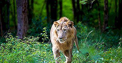 Où Les Lions Asiatiques Vivent-Ils Dans La Nature?