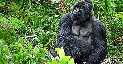 Hvor Bor Gorillas?