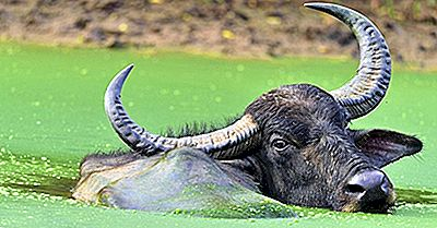 Hvilke Dyr Har De Længste Horn I Dyreriget?