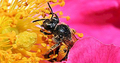 Care Culturi Și Plante Sunt Polenizate De Albinele De Miere?