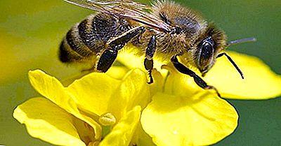 Waarom Gaan Bijen Uitsterven?