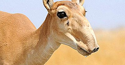 Varför Går Saiga-Antiloperna Utdöda?