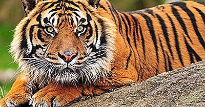 Perché La Tigre Di Sumatra È Sull'Orlo Dell'Estinzione?