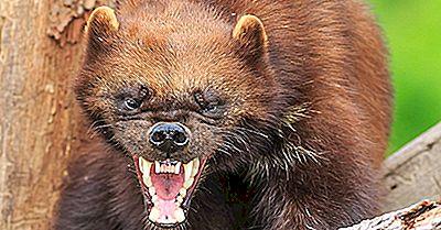 Fatos De Wolverine: Animais Da América Do Norte