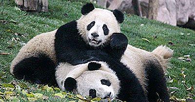 Les Plus Célèbres Pandas Géants Au Monde Et Leurs Histoires De Vie Uniques