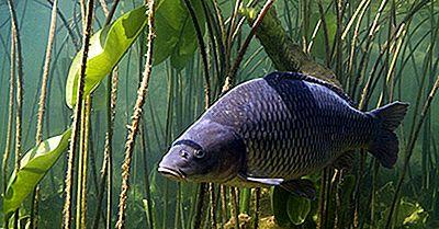 De Sämsta Arten Av Invasiv Fisk
