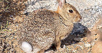 Datos Del Conejo Del Desierto: Animales De América Del Norte