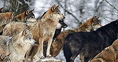The Pack Dyr Af De Forskellige Regioner I Verden