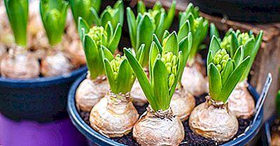 Qu'Est-Ce Que Tulip Mania?