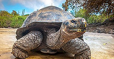 Bedste Steder I Verden For At Se Gigantiske Skildpadder I Deres Naturlige Miljø