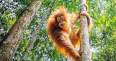 Bästa Ställen I Världen Att Titta På Orangutanger I Deras Naturliga Miljö