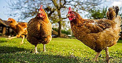 Hoeveel Kippen Zijn Er In De Wereld?