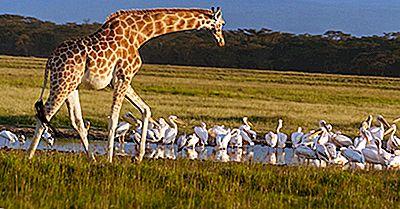 Quante Specie Di Giraffe Ci Sono Nel Mondo?