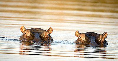 ¿Cuántos Tipos De Hipopótamos Hay?