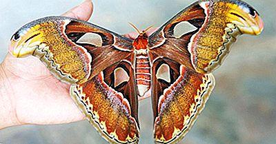 Qual É A Maior Mariposa Do Mundo?