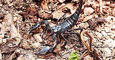 Hvad Er Verdens Største Skorpion?