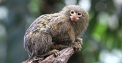 ¿Cuál Es El Tipo De Mono Más Pequeño Del Mundo?