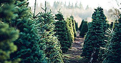 Ce Tip De Copaci Face Cele Mai Bune Copaci De Crăciun?