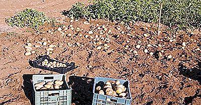 Unde Sunt Cultivate Cele Mai Multe Cartofi?