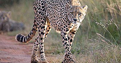Var Bor Cheetahs?