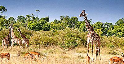 Var Bor Giraffer?