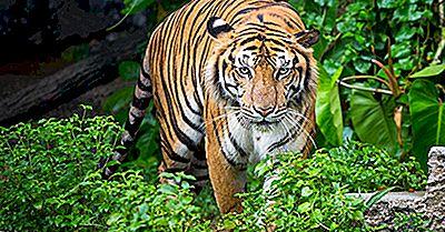 ¿Dónde Viven Los Tigres?