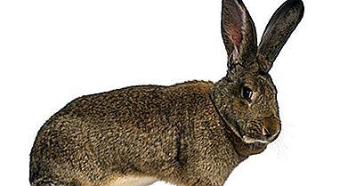 Los Conejos Más Grandes Del Mundo